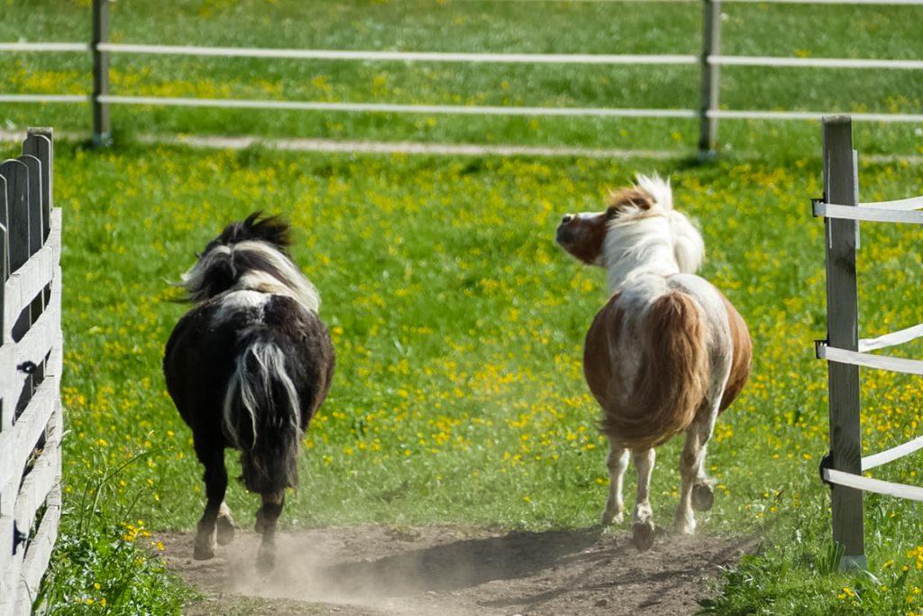 Auch bei den Ponys der Kugler Alm erwachen die Frühlingsgefühle auf der Koppel