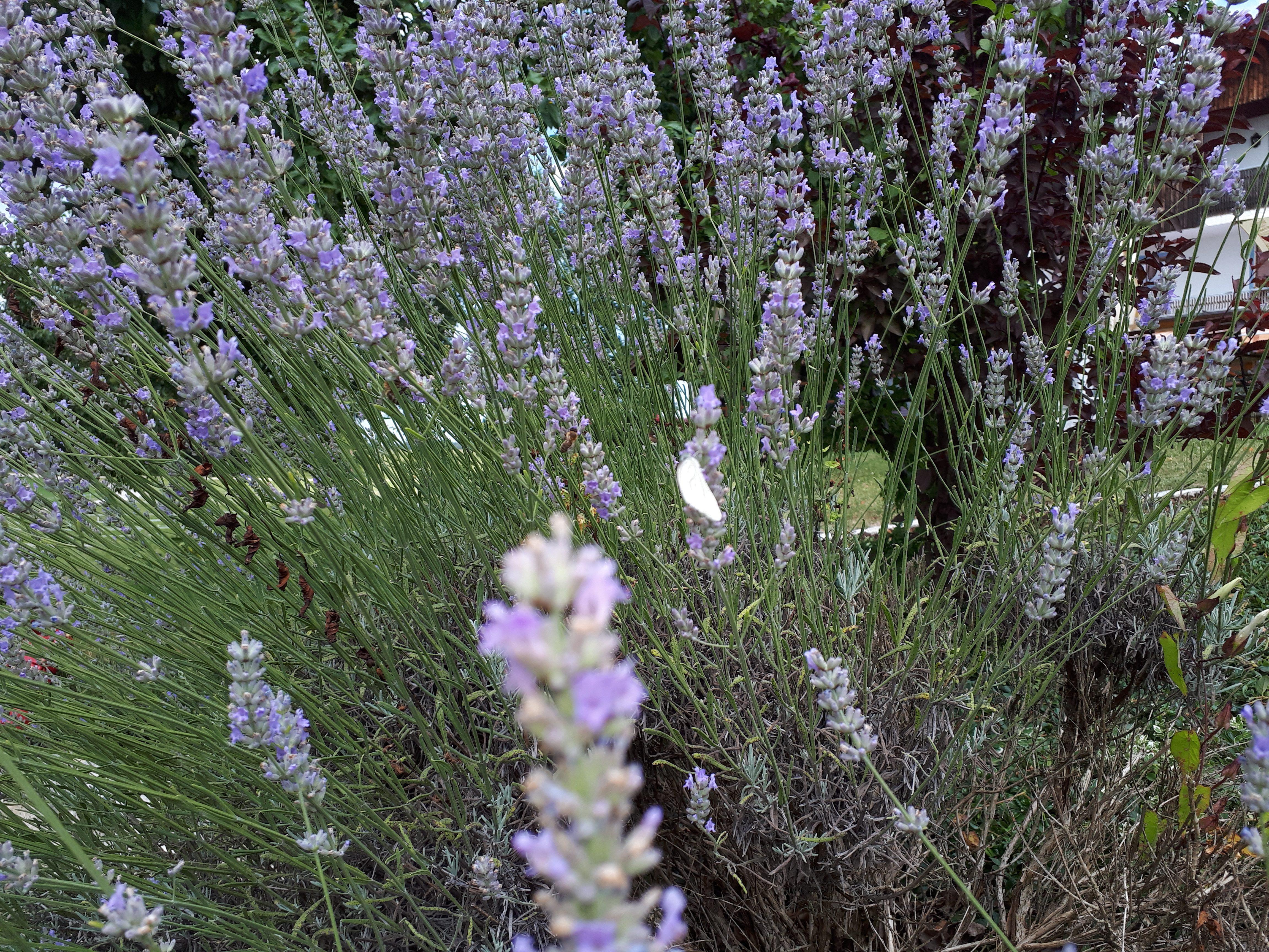 Lavendel in voller Blüte im Biergarten Landgut Kugler Alm