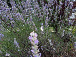 Im Landgut Kugleralm Ebersberg Nähe München duftet der frische nach Lavendel