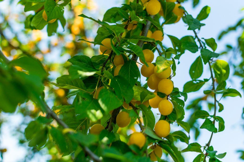 erntefrische Kriecherl vom Kriecherl Baum auf dem Landgut Kugler Alm Ebersberg