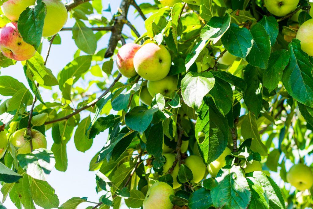 Das Restaurant Kugleralm verwendet erntefrische Äpfel für den eigenen Apfelsaft