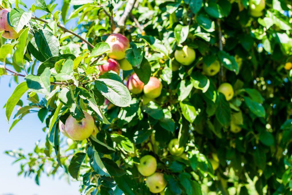 Erntefrische Äpfel vom hauseigenen Baum machen den Apfelstrudel vom Restaurant Kugleralm ganz besonders lecker