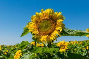 Sonnenblume zum Selbstschneiden für die Kinderkrebshilfe Ebersberg e.V.