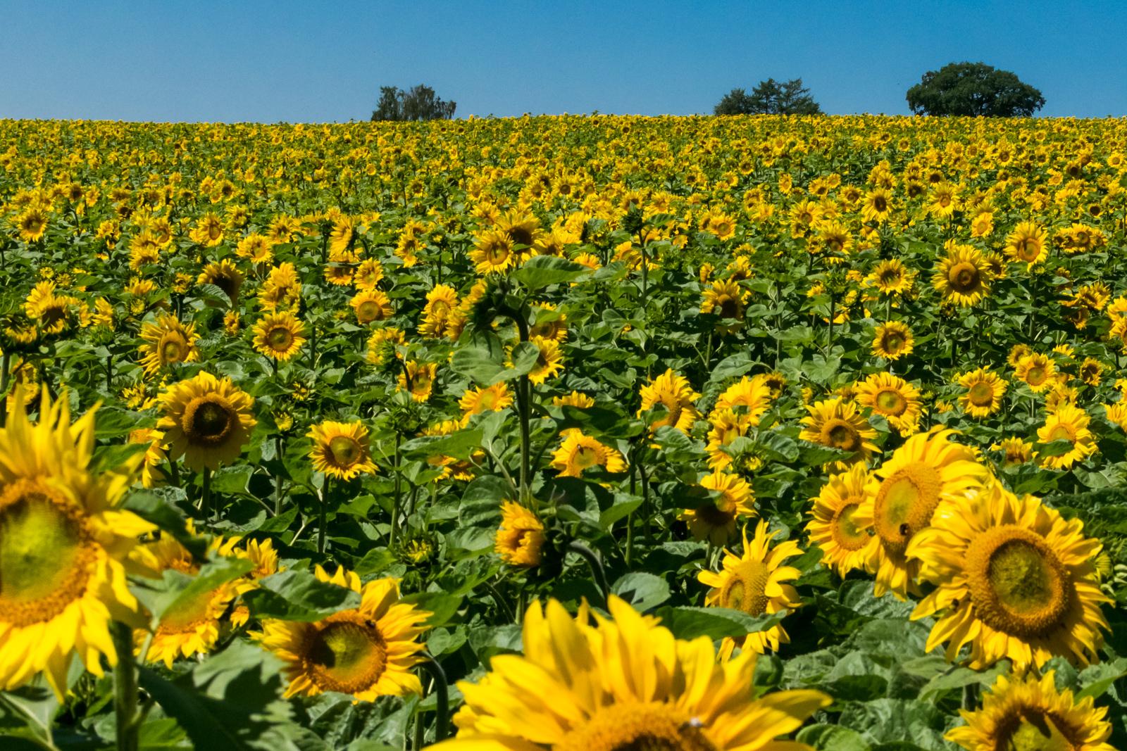 Der Blick von unserem kinderfreundlichen Biergarten auf unser Sonnenblumenfeld