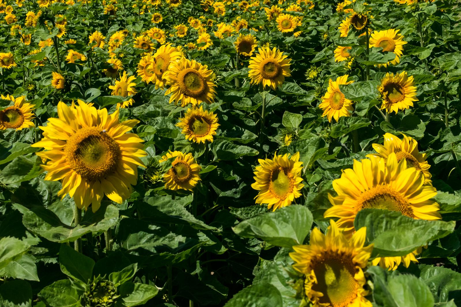 Riesige Sonnenblumen in voller Pracht direkt neben dem Biergarten Kugleralm