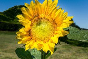 Eine Sonnenblume für ein Kinderlächeln