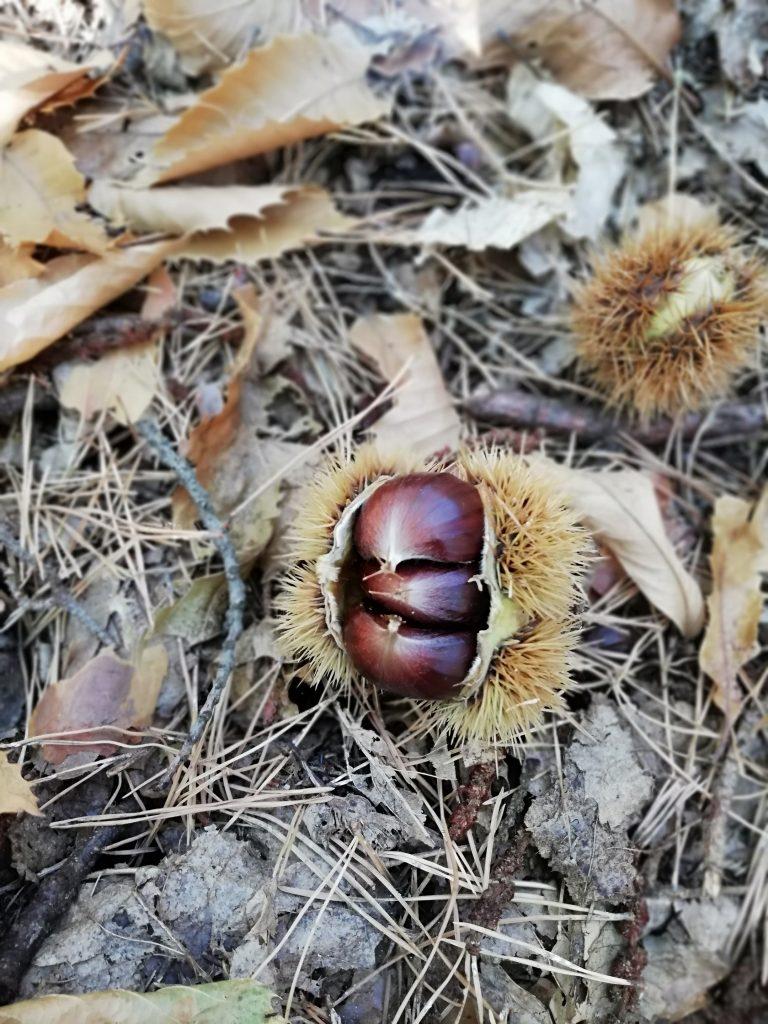 Esskastanien sammeln ist durch den schützenden Kastanienigel eine stachelige Angelegenheit